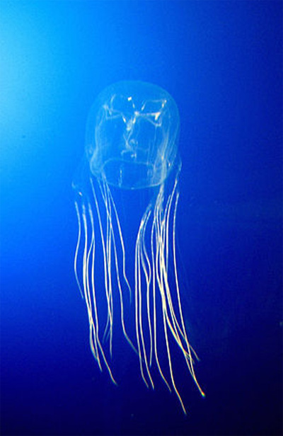 Box jellyfish photo
