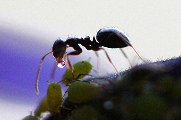 Ant farming aphids