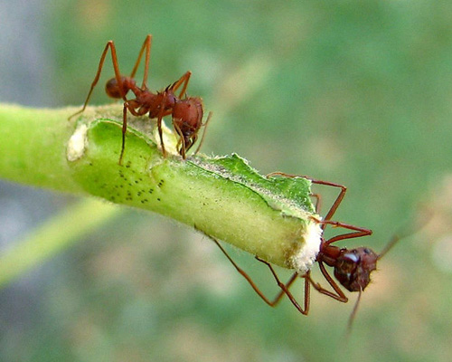 Texas leaf-cutter ants