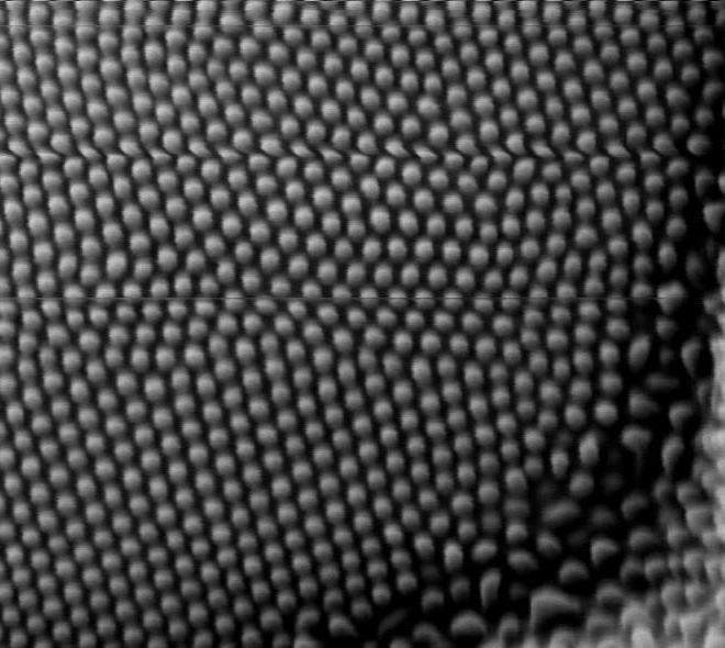 SEM image of a Peacock eye, front view 4