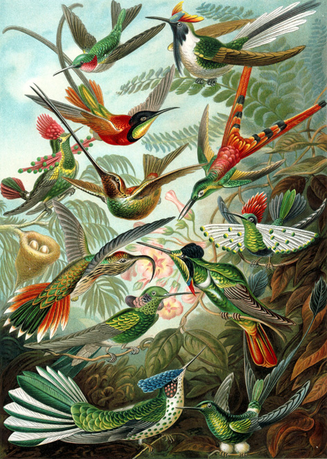 Hummingbirds by Haeckel