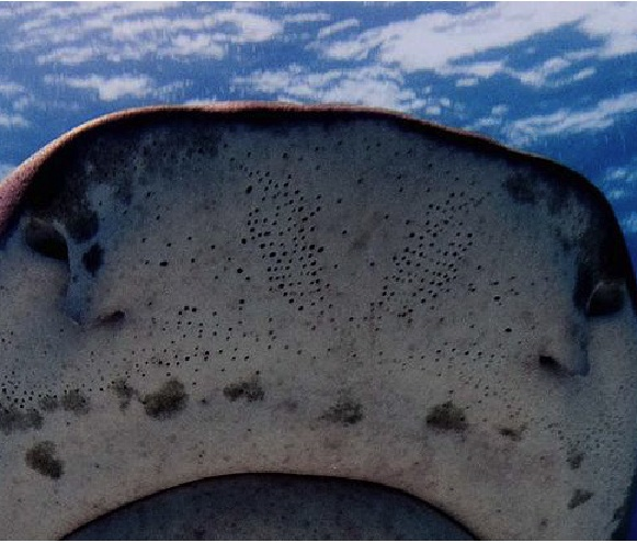 Electroreceptor pores on shark snout