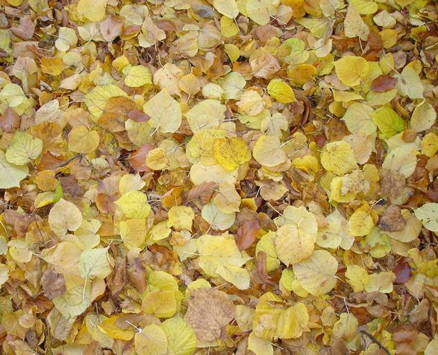 Yellow leaf fall