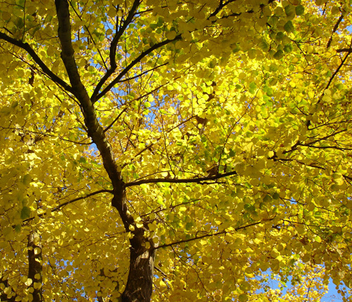 Yellow-leaved tree