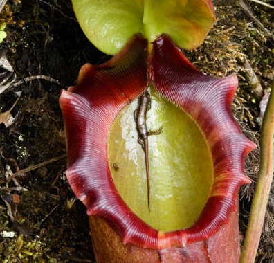 Nepenthes with lizard