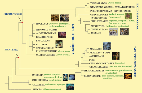 Animal tree of life graphic