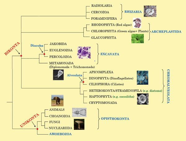 Eukaryote tree of life graphic