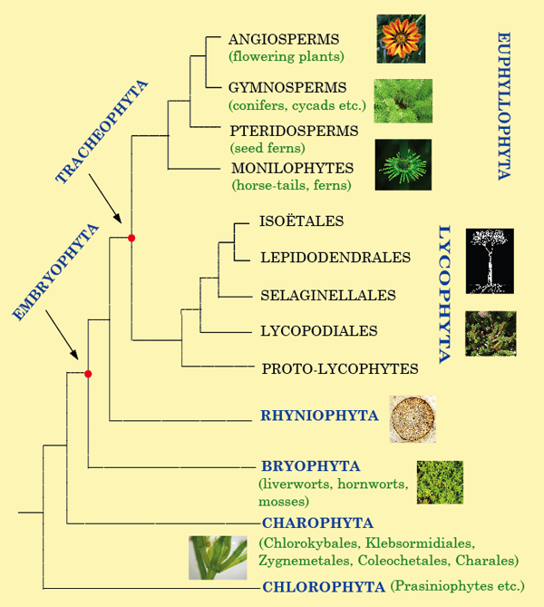Plant tree of life graphic